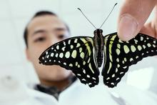 Butterfly (Lepidoptera) - photo courtesy of fujinliow