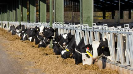 Research to improve dairy cow fertility