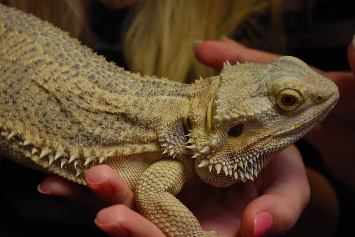 Kinky the bearded dragon