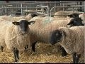 Early lambing at Harper Adams (video)
