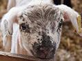 Lambing at university farm
