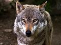 Should wolves and other animals be reintroduced into the UK?