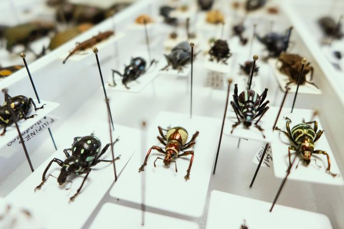 Insect Curation and Taxidermy - photo courtesy of fujinliow
