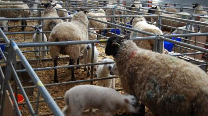 Student research investigates ewe diets (video)