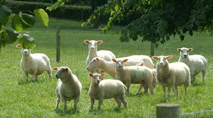 Increased lamb survival and improved dairy cow health offered by planting trees