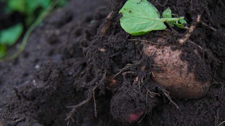 Harper Adams to host fifth Symposium of Potato Cyst Nematode Management