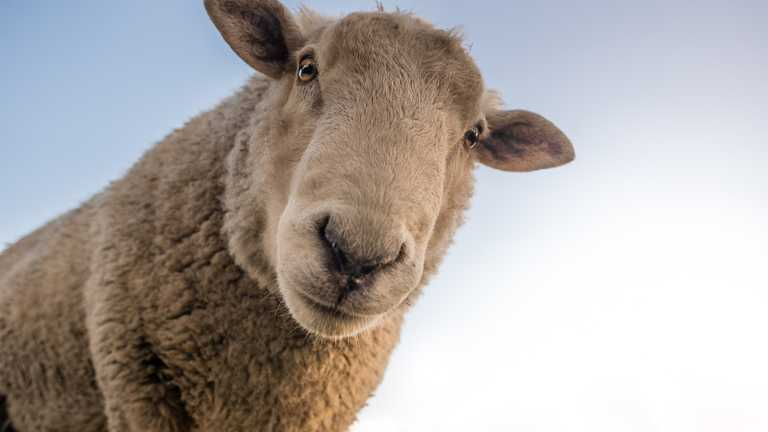 Could drones be used to lead sheep?