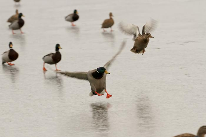 Mallard Landing by Jason Hornby: Nature's Olympians winner
