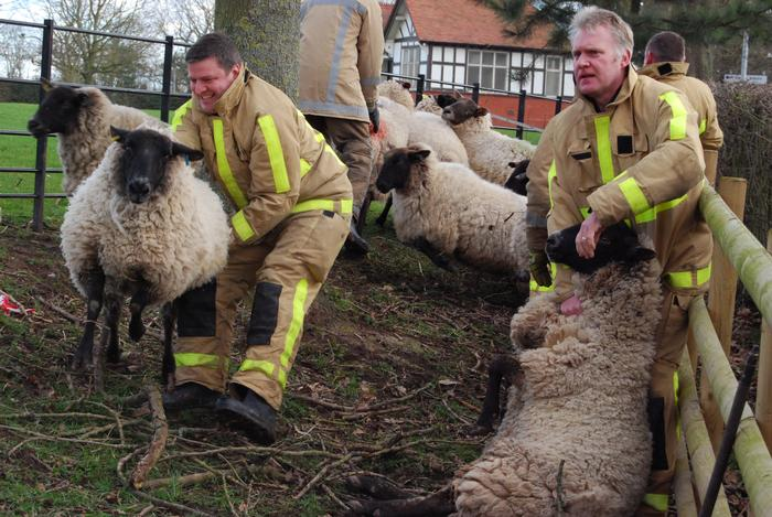 Firefighters undergoing training to handle sheep