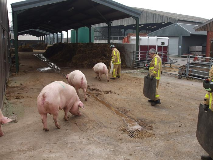 The firefighters were given the chance to handle a variety of animals including pigs, cows and bulls