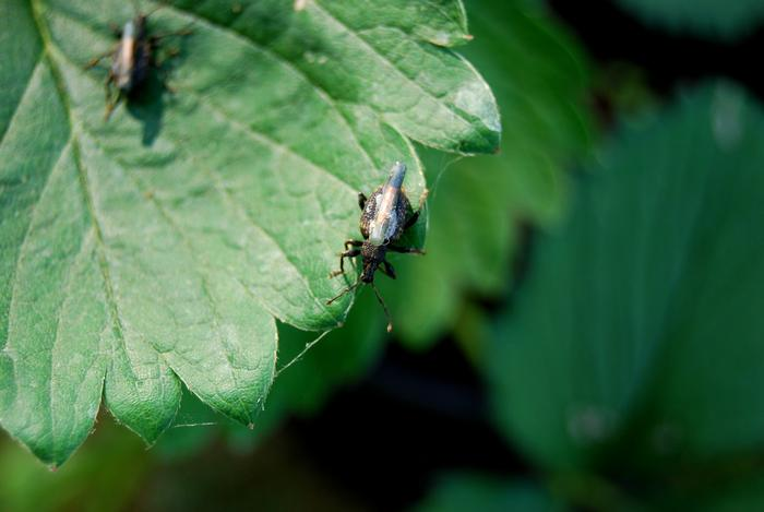 Weevils on a strawberry plant