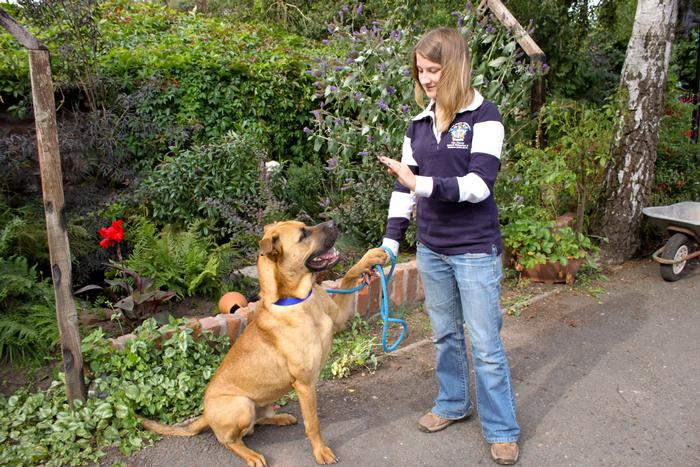 Student Becky Gerard with Arnie the Bullmastiff cross