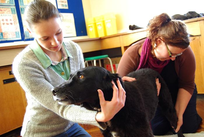 A veterinary physiotherapy session at Harper Adams