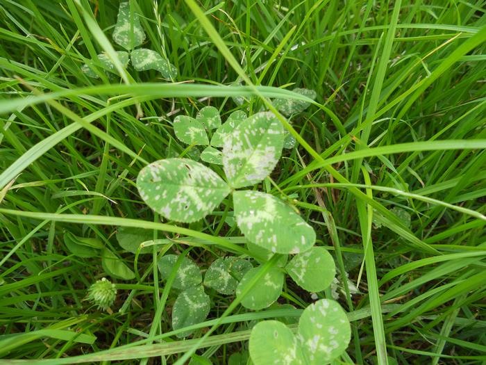 Clover damage from the lucerne flea