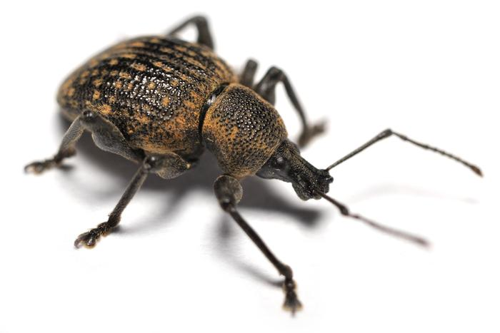The vine weevil