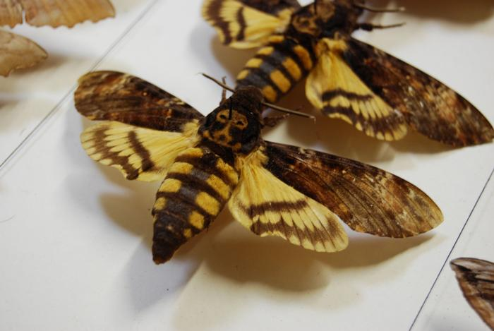 An unusual specimen in the collection - the death's head hawk moth