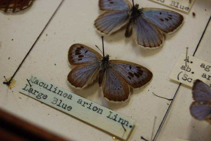 The large blue butterfly - the oldest specimen in the collection (more photos below)