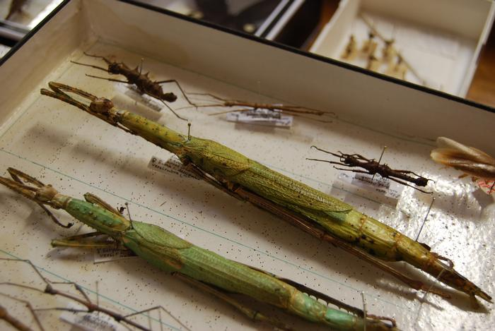 The longest specimen in the collection - a stick insect from Indonesia collected in 2004