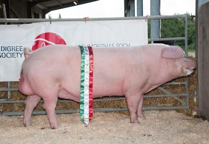 The Pedigree Welsh Pig (credit PWPS)