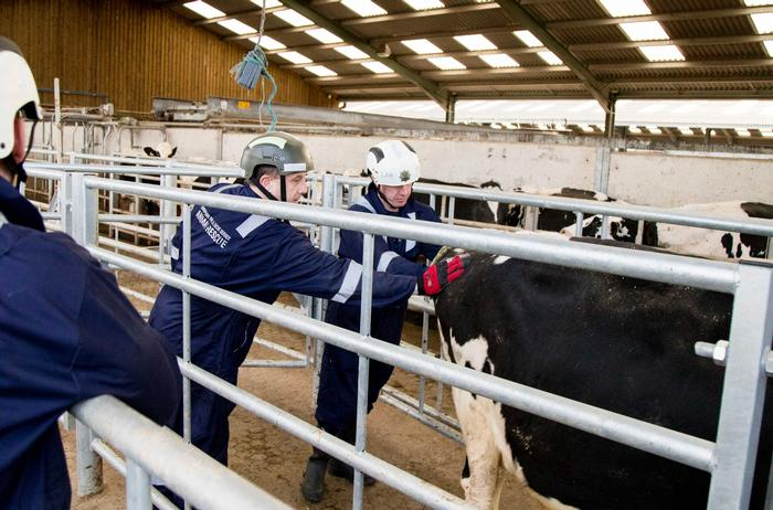 Dairy cow handling