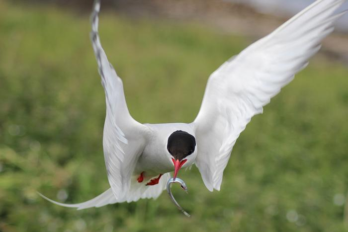 Common Tern by Emma Judd