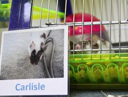 Carlisle the mouse pokes his nose through his cage.