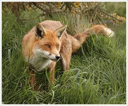 A fox is captured by Alan Lees