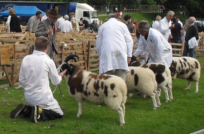 Michael (front left) showing a Jacob sheep