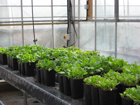 Spinach growing in the glass house